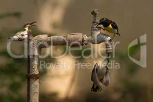 Three sunbirds on garden tap in sunshine