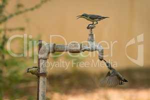 Three female purple sunbirds at water tap