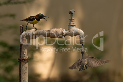 Two sunbirds compete to drink from tap
