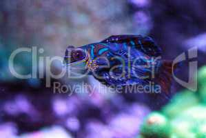 Mandarin goby is also called the Mandarin dragnet Synchiropus sp