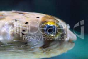Spiny porcupinefish Diodon holocanthus has eyes that sparkle wit