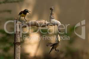 Sunbird watches another drink from outdoor tap
