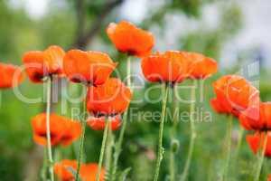Blooming poppy flowers