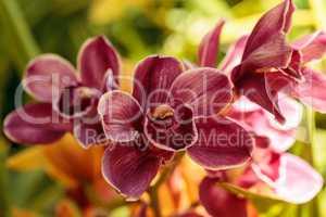 Pink Cymbidium orchid flower blooms in a botanical garden