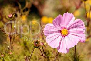 Pink Cosmos daisy grows as a wild flower