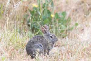 Young Cottontail Rabbit (Sylvilagus) munching grass with cautious.