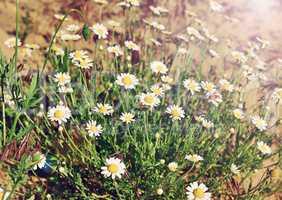 bush of white field chamomiles