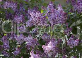 Beautiful Lilac blossoms