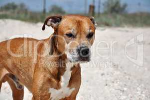 Redhead American pit bull terrier lies on the sand, close up