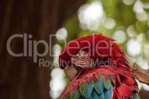 Green wing macaw Ara chloropterus