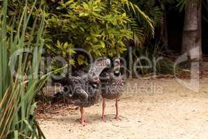 Southern screamer bird Chauna torquata