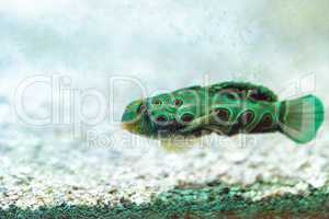 Picturesque Dragonet fish Synchiropus picturatus