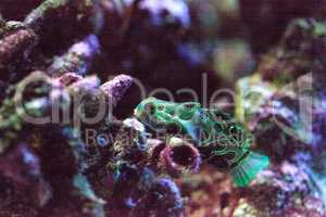 Picturesque Dragonet fish Synchiropus picturatus