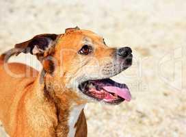 Cheerful American pit bull terrier