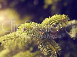 Wet green twig of a fir