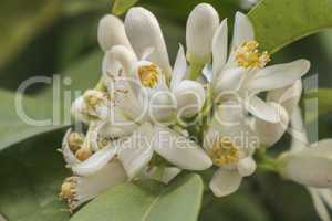 Orange blossom in spring, azahar flower