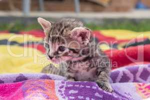 Adorable and sleepy tabby kitten
