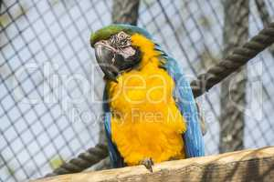 Macaw, blue and yellow, Ara Ararauna