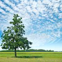 Oak tree on a green meadow and sky