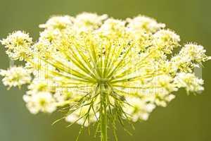 wilde Karotte, Blüte aus der Froschperspektive