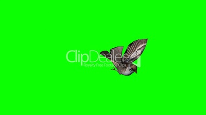 bird sparrow flying and landing - green screen 2