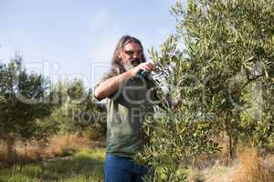 Man pruning olive tree in farm