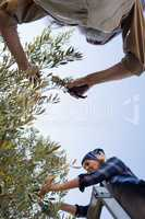Couple pruning olive tree in farm