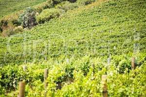 Full frame shot of green vineyard