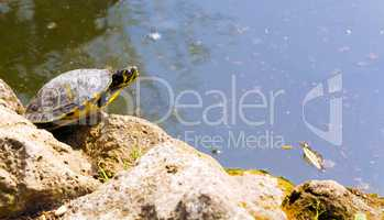 turtle rests on rock