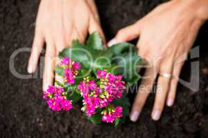 Cropped hands of woman planting flowers