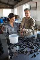 Workers checking a harvested olives in factory