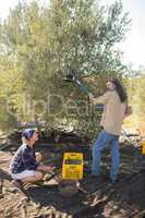 Farmers interacting while harvesting olive with rack
