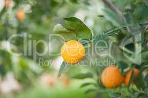 orange  in the green