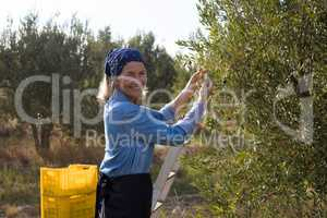 Portrait of happy woman harvesting olives from tree