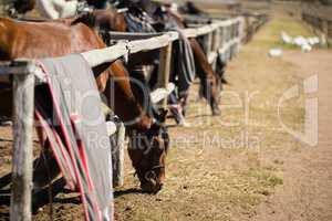 Horses eating grass in the ranch