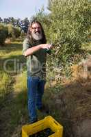 Portrait of happy man pruning olive tree in farm