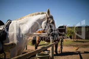 White horse standing in the ranch
