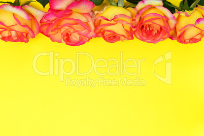 Flowering buds of yellow red roses