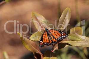 Monarch butterfly, Danaus plexippus, in a butterfly garden