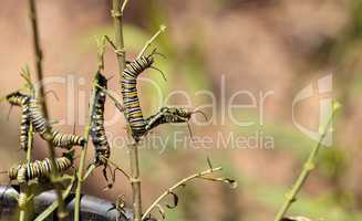 Monarch caterpillar, Danaus plexippus, in a butterfly garden
