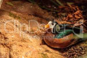 African pygmy goose Nettapus auritus