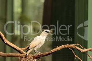 Bali myna bird Leucopsar rothschildi