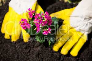 Cropped hands of person planting flowers