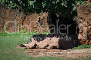 White rhinoceros sleeping in shade under tree