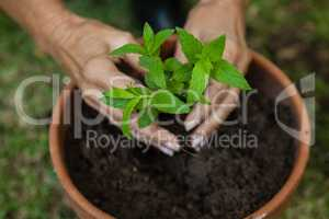 Cropped hands of senior woman planting seedling in pot