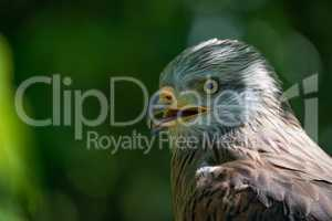 Close-up of red kite with open beak