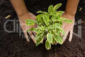 Cropped hands of woman planting on soil