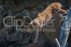 Lynx walking along ridge past dead log