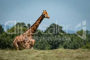 Giraffe with legs hidden behind grassy ridge
