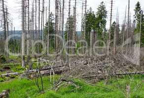Waldsterben - tote Bäume im Wald